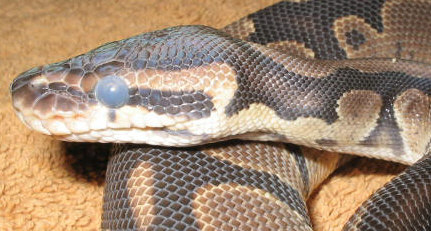 Royal Python In Preecdysis with eyes in blue