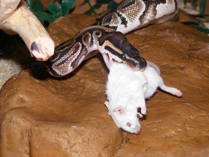 how to download cython python